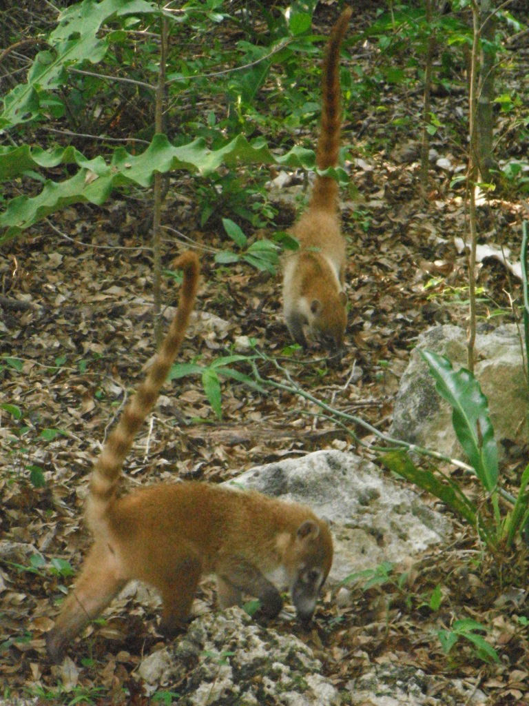 Coatis scavenging for dinner at Xel-Ha, Mexico