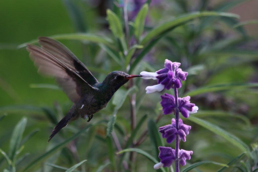 Hummingbird in Central Mexico